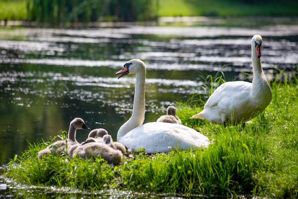 Ogrody w Nieborowie, łabędzie, park angielski