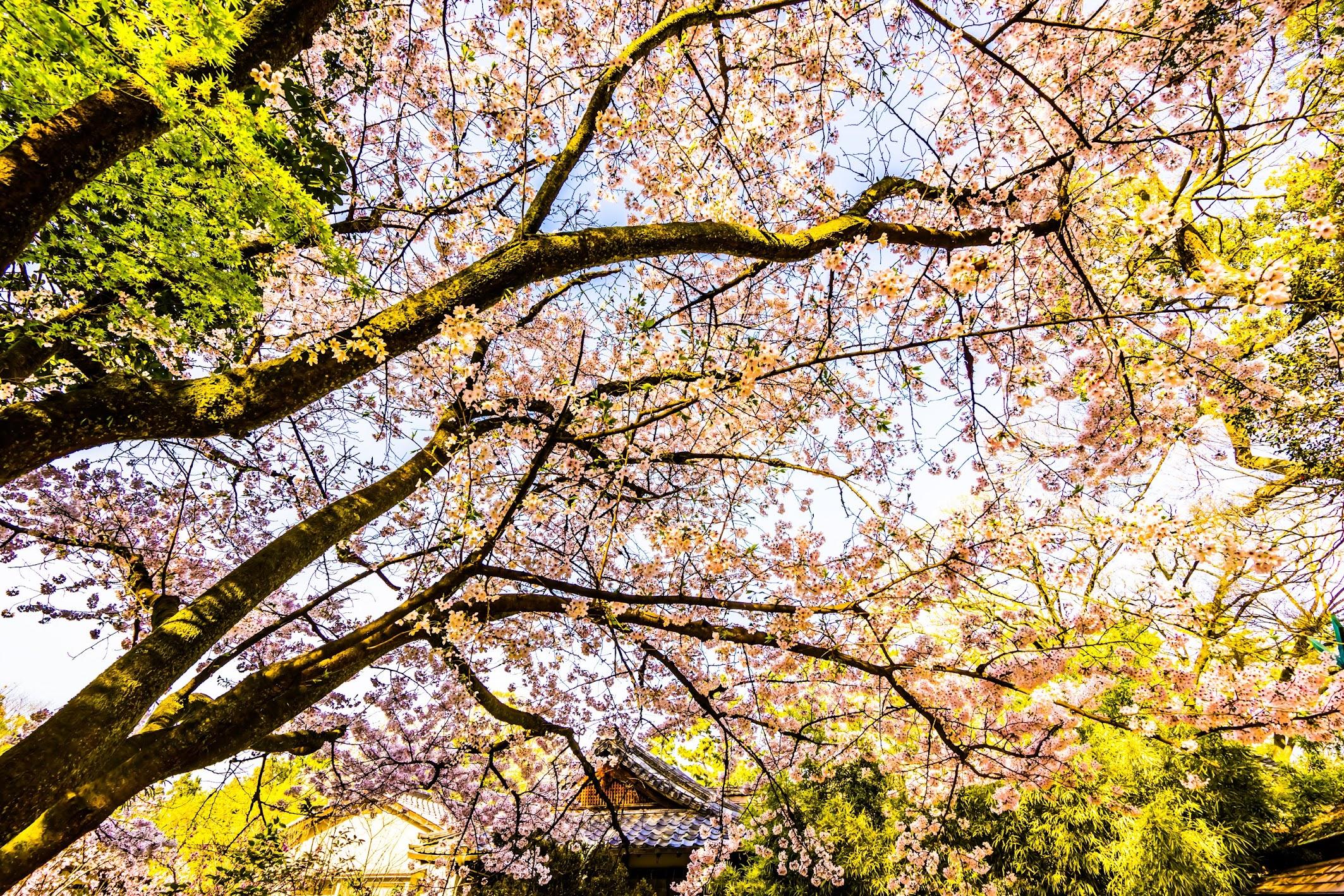 Kyoto Gyoen Munakata Shrine cherry blossoms3