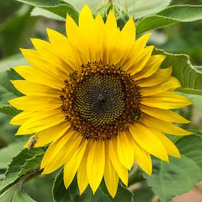 Yellow Sunflower #2 by Frank Barnitz - Flowers Single Flower ( sunflower, flower )