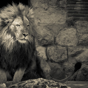 The Relaxed King by Diogo Ferreira - Animals Lions, Tigers & Big Cats ( lion, zoo, lisbon, portugal, animal )