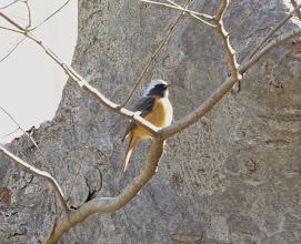 Photo: 撮影者:佐藤サヨ子 ジョウビタキ タイトル: 観察年月日:2015年2月28日 羽数:♂1羽 場所:高幡台団地の庭 区分:行動 メッシュ:武蔵府中3H コメント:この間から何度かこの鳥を見ているのですが、何時もカメラを持っていないときに限って出会うのですが今日はGood Timing でした。