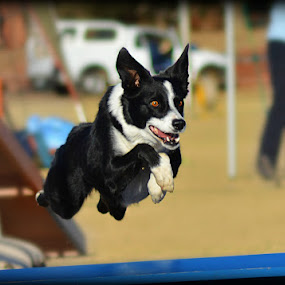 Border Collie Agility by Christil-Photography Bloemfontein - Animals - Dogs Running ( face, border collie, white, eyes, agility )