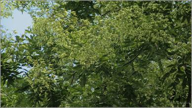 Photo: Frasin, Mojdreanul (Fraxinus ornus) - din Piata Basarabiei, parc - 2017.08.07