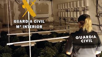 La Guardia Civil ha hallado 150 plantas de marihuana en una plantación indoor de Roquetas.