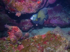 Photo: French Angelfish