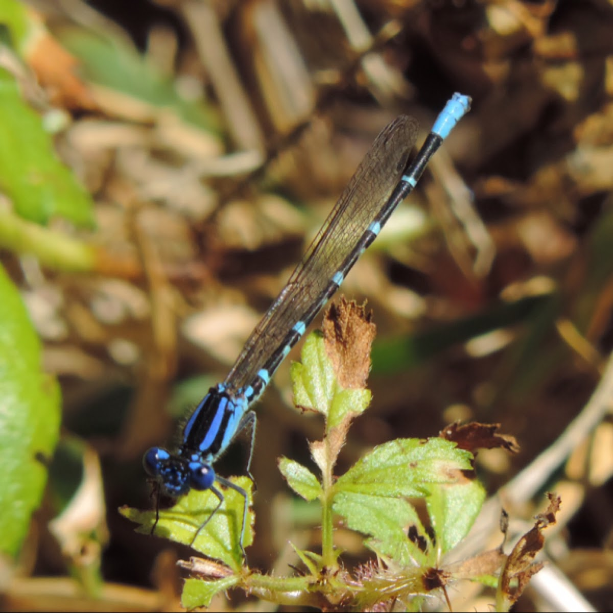Blue-ringed Dancer