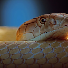 by Ruari Plint - Animals Reptiles ( snake,  )
