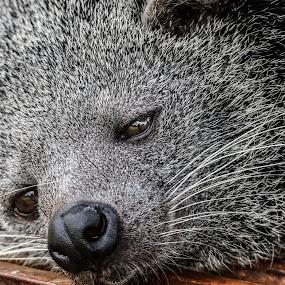 Binturong by Donny Novianus - Animals Other