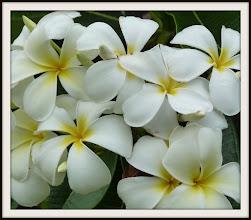 Photo: Plumeria everywhere, Oahu