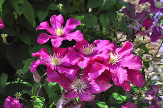 Photo: Clematis 'Remembrance' 1