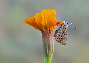 Photo: Lycaena tityrus, Cuivré fuligineux / Argus myope, Sooty Copper  http://lepidoptera-butterflies.blogspot.fr