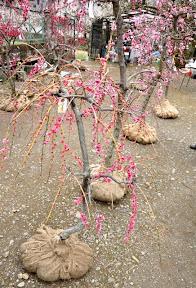 梅の苗木販売