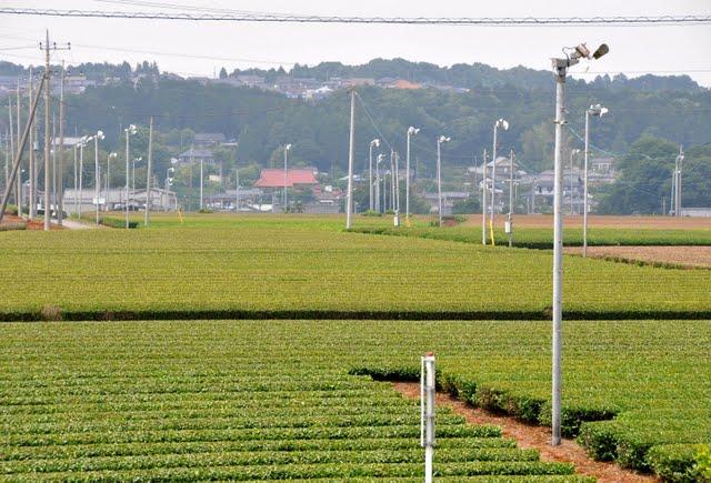 茶業公園からの茶畑2