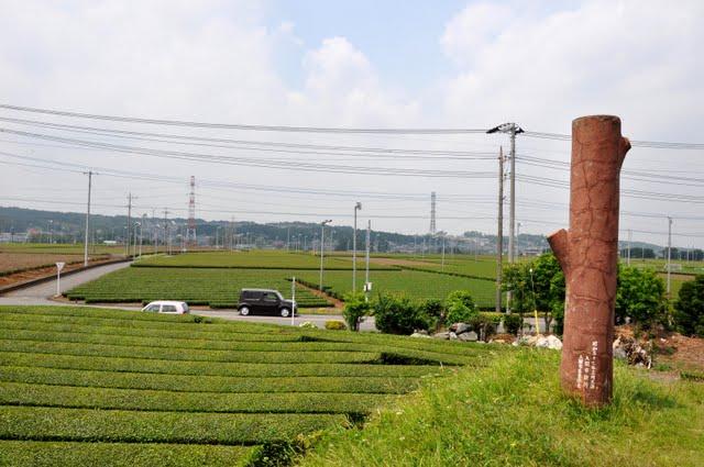 茶業公園からの茶畑1