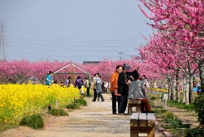 花桃と菜の花の通路