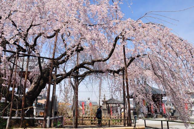 横からのしだれ桜
