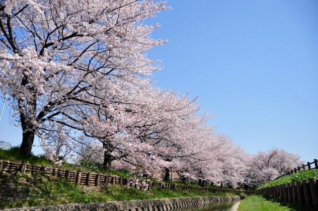 川へ降りたところから見上げた桜