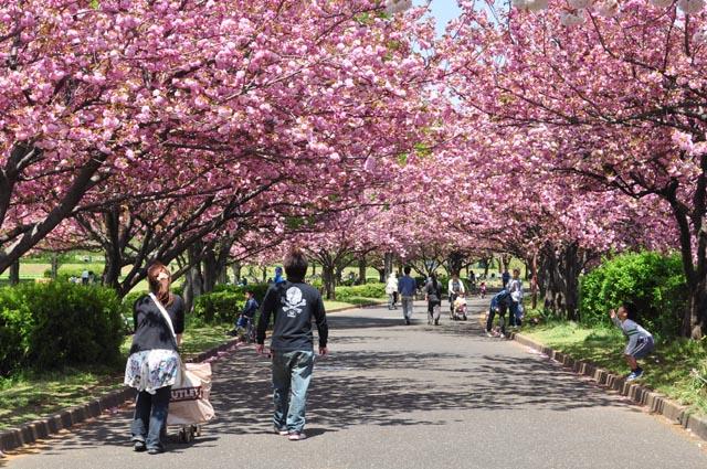 水上公園の八重桜