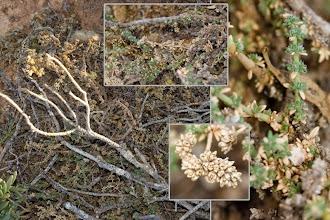 Photo: Flora: Herniaria fruticosa