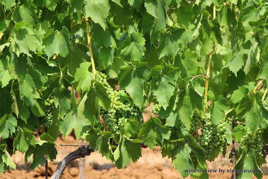 sangiovese, vigna, vitigno, le potazzine, montalcino