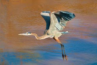 Photo: Great blue heron flies off