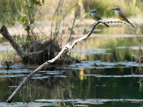 Photo: Tropical Kingbird (Trauertyrann); Bacalar, QROO