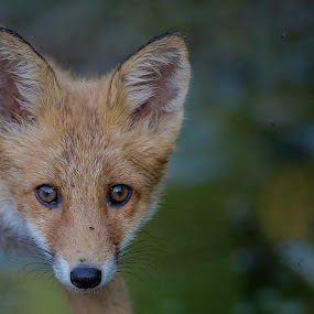 Fox by Michael Pelz - Animals Other Mammals