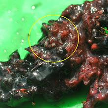 Photo: les mûres sont remplies de larves, asticots