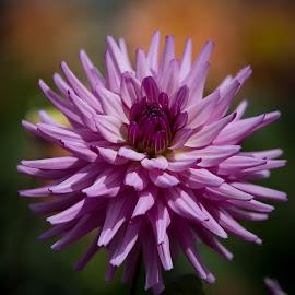 A Purple One by Janet Marsh - Flowers Single Flower ( purple, dahlias )