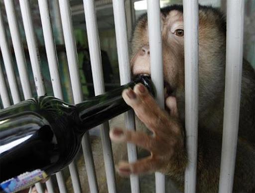 Macacos bebem vinho em zoo russo