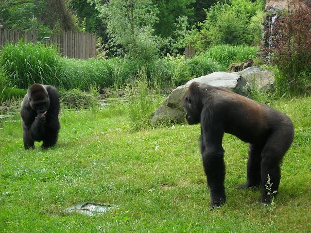 Goryle - czy niedługo już tylko w zoo?