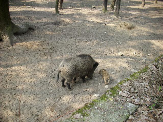 A to zeszłoroczny maluch z mamą - Ogród Fauny Polskiej