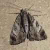 Rhuma moth