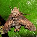 Abbot's Sphinx Moth