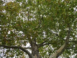 Photo: American Sycamore (plantanus occidentalis)