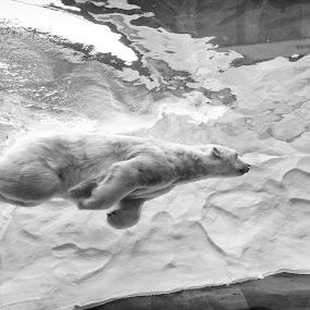 Polar Bear Enjoying a Dip by T.J. Wolsos - Animals Other Mammals ( zoo, black and white, polar bear, swimming, animal )