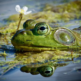 Frog and a Flower by Mark Theriot - Animals Amphibians ( water, frog, green, flower, eyes )