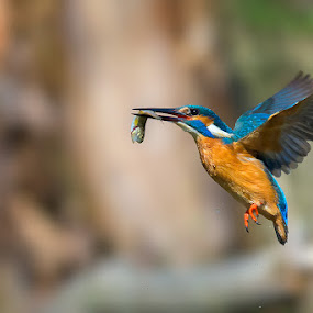 Fishing by Roberto Melotti - Animals Birds ( river kingfisher, wild, roberto melotti, fish, nikon d810, eurasian kingfisher, prey, common kingfisher, bird, flying, flight, kingfisher, capture )