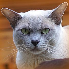 mathilda by Caroline Beaumont - Animals - Cats Portraits ( lilac burmese cat )