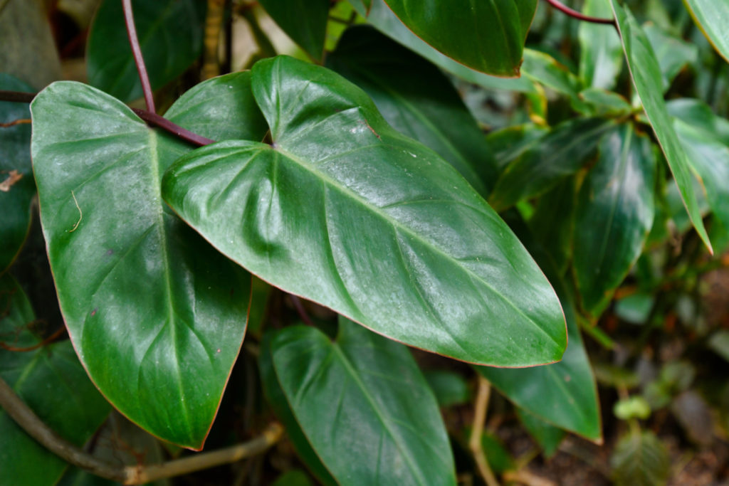 Philodendron soorten Red Emerald