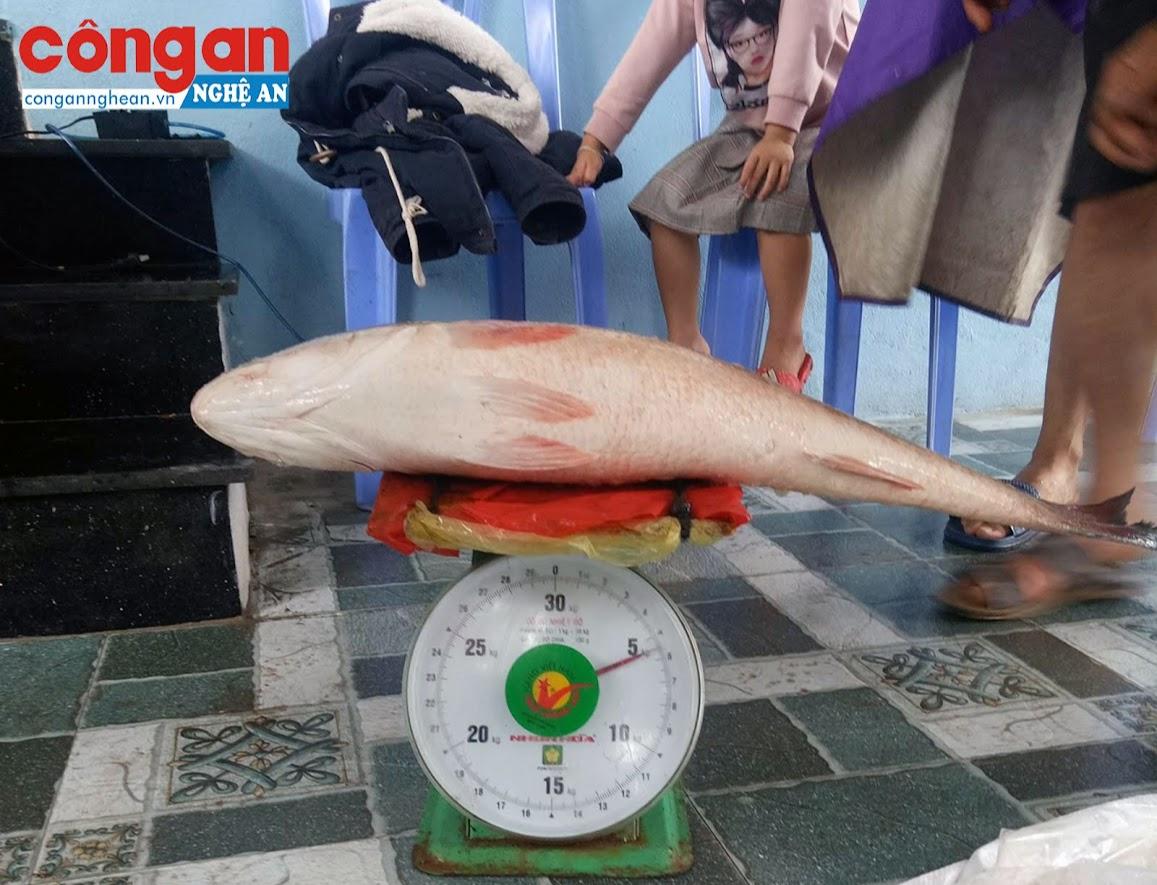 Con cá  nặng hơn 5kg