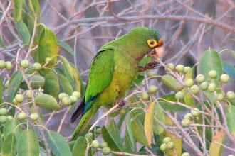 Photo: Orange-fronted Parakeet