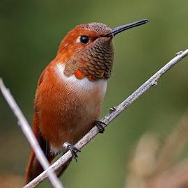 Rufuos Hummingbird 2 by Anthony Goldman - Animals Birds ( bird, wild, hummingbird, wildlife, rufuos, valrico,  )