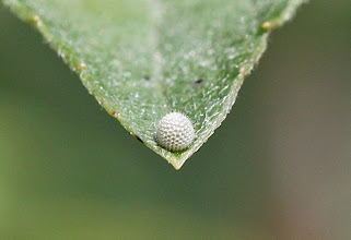 Photo: Viceroy egg on willow leaf tip