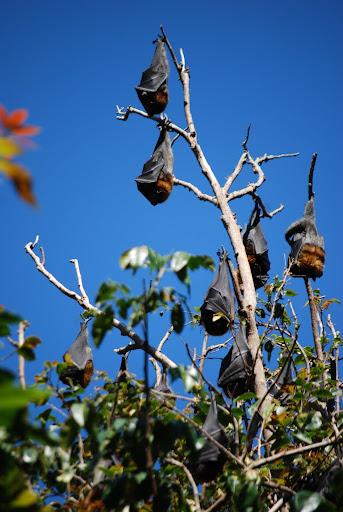 Fruit Bats at the Royal Botanic Gardens