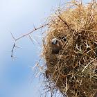 Grey-capped Social Weaver