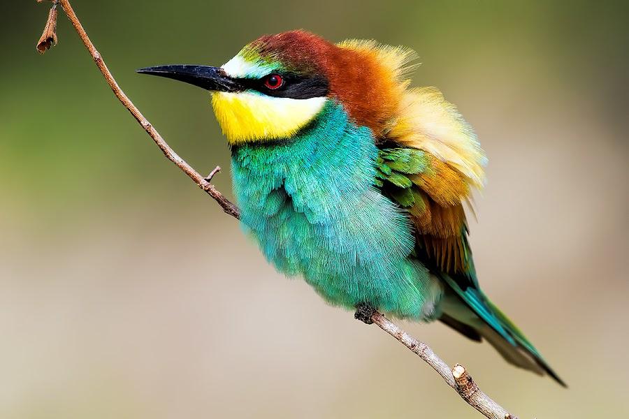 bee eater by Andrea Casalboni - Animals Birds ( bird, wild, nature, bee eater, merops, italy )