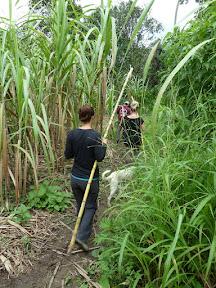 Récolte de la canne à sucre