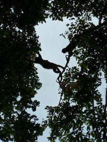 Saut de singes