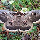 Giant Peacock Moth / Noćno paunče